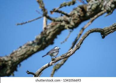Wagtail bird on a tree branch against a blue sky
