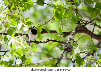 Wagtail bird in tree with insects in beak