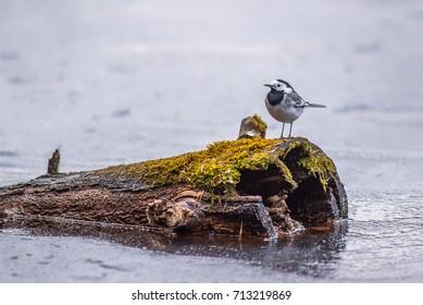 Wagtail bird and tree stump
