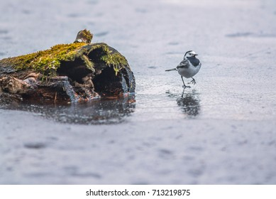 Wagtail bird walking on ice