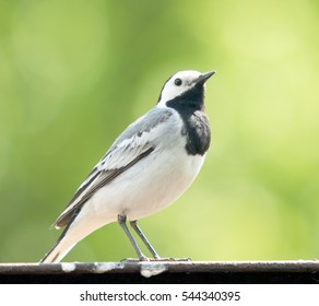 Wagtail close up in nature