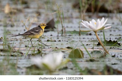 Wagtail and lotus flowers