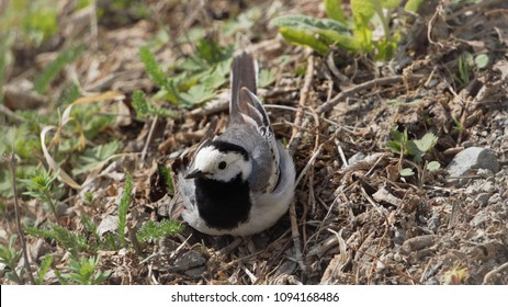 Wagtail is sitting on the grass. Gray bird in the spring. The bird looks directly. A small gray bird with a long tail. Wagtail in the grass.