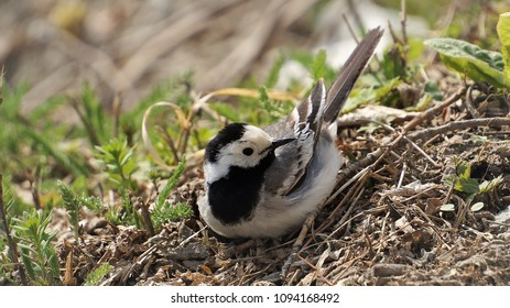 Wagtail is sitting on the grass. Gray bird in the spring. The bird looks to the right. A small gray bird with a long tail. Wagtail in the grass.
