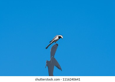 Wagtail sitting on a weathercock by a blue sky