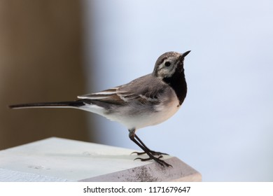 Wagtail small bird close-up