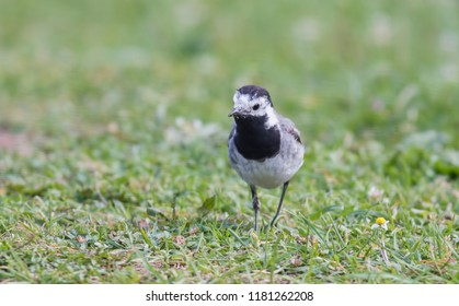 Wagtail walking on a green lawn in the spring