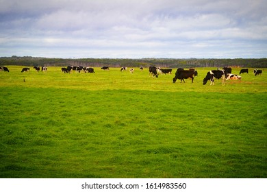 Wagyu Cattle grazing on some of the finest green grass Tasmania has to offer