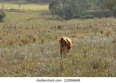 wagyu cow  in rustic thistle flower feild setting australia