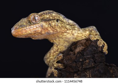 The Wahlberg's velvet gecko (Homopholis wahlbergii ) is a large nocturnal gecko species endemic to Southern Africa.