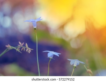 Wahlenbergia, Australian wildflower, native bluebell with bright daylight background