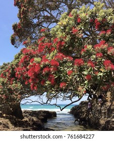 Waipu, North Island, New Zealand - december 30 2015 - Red Pohutukawa Flowers (Metrosideros excelsa) the New Zealand Christmas Tree with a blue sea behind