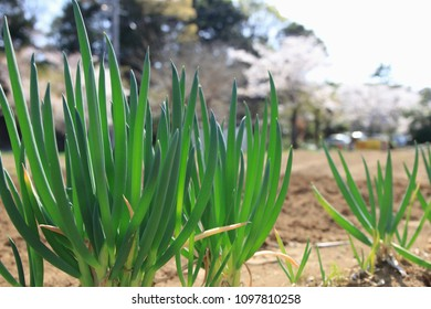 Wait for the harvest of the field green onion