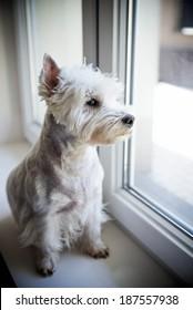 Waiting dog. West highland white terrier.