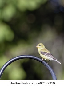 """""""Waiting Her Turn"""" Female Goldfinch waiting on her turn at the niger feeder."""