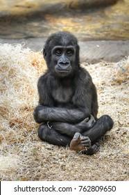 Waiting small Western lowland gorilla (Gorilla gorilla gorilla)