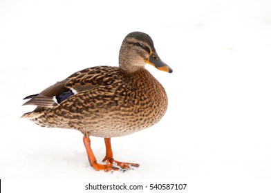 Wald mallart duck isolated on white background