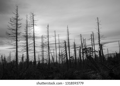 Waldsterben or forest dieback of conifers in Harz, Germany