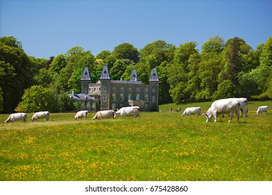 Wales, UK, June 6, 2013. Dinefwr Park, with Dinefwr Mansion, and white park cattle in the foreground, llandeilo, Carmarthenshire
