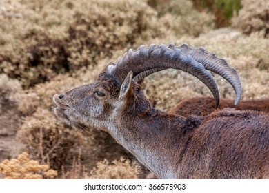 Walia Ibex eating from a bush in Simien mountains, Ethiopia
