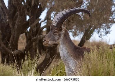 Walia Ibex head profile in Simian mountains, Ethiopia
