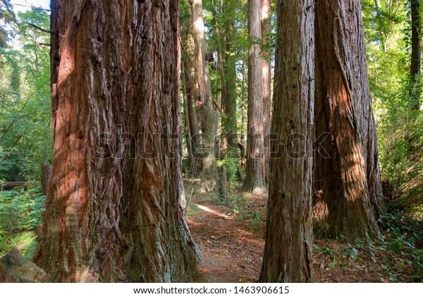 Walk among large trees, Otago, New Zealand