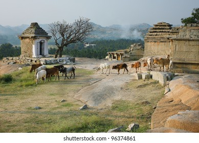 The walk of the bulls in the ancient city. India.