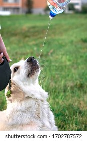 Walk with a dog of the Hungarian Kuvas breed on a green lawn and wash with water