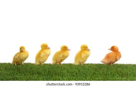 Walk five ducklings following their leader