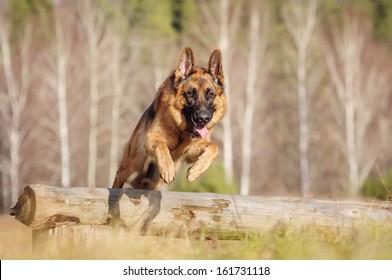 Walk with a German Shepherd