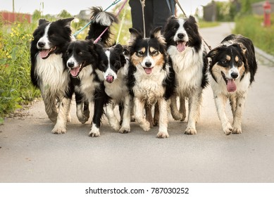 Walk with many Border Collies on a leash - group of dogs