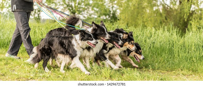 Walk with many dogs on a leash in the nature.  Obedient Border Collies