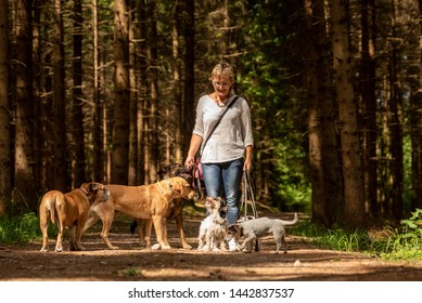 Walk with many dogs on a leash. Dog walker with different dog breeds in the beautiful forest