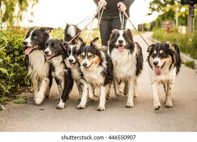 Walk with many dogs on a leash.  Border Collies