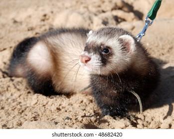 Walk on the beach with ferret.