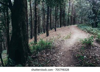 Walk in pine forest