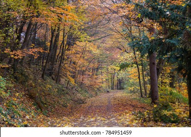 A walk through the forest during autumn as yellow leaves are falling down all around