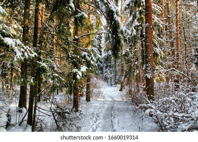A walk through the winter forest on a sunny day, in Zakharovo near Moscow, where A. Pushkin's childhood was spent.