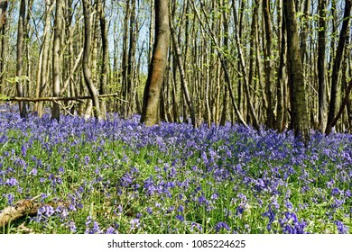 A walk through the woods with bluebells foaming a carpet across the ground in the Kent Countryside.