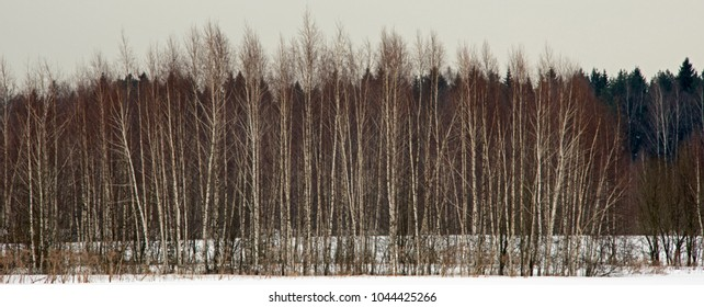 Walk in the winter wood situated near Moscow in cloudy winter day.