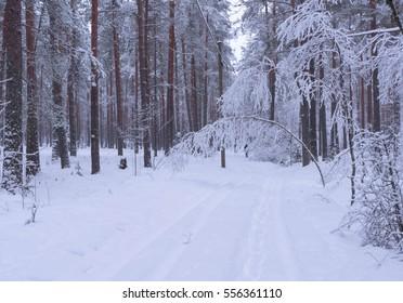 Walk in winter woods