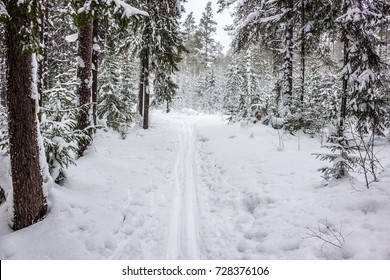 Walk in winter woods. Snow world. The track for cross-country skiing. Beautiful and unusual roads and forest trails of Russia.