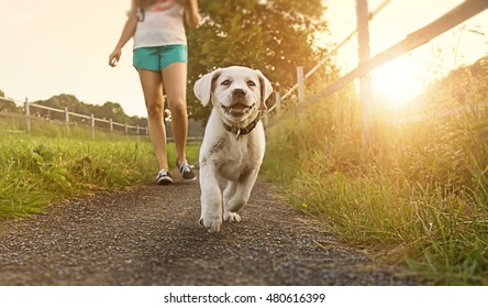 Walk of a young woman with dog at sunset next to a paddock - Labrador puppy running with pretty face