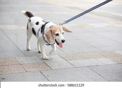 Walked Mix-breed Beagle