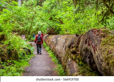 walker into the path of the temperate Hoh Rain Forest.,Olympic National Park, Washington State, USA