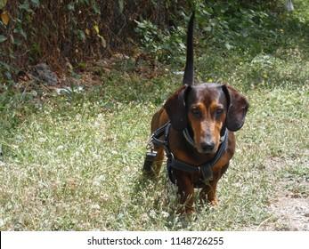 walkin dog on grass