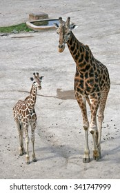 Walking adult giraffe and a young one in a Zoo
