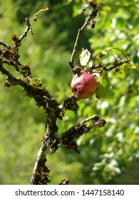 Walking along the Doubs from Goumois (Jura), a very old tree bearing one lonely red apple