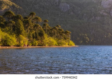 Walking around the glacier lake. Blue lake surrounded by Araucaria trees. Old forest, pristine. rare