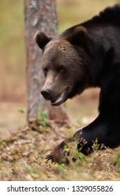 Walking bear closeup